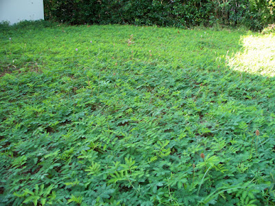 Sunshine Mimosa, Florida Native Groundcover