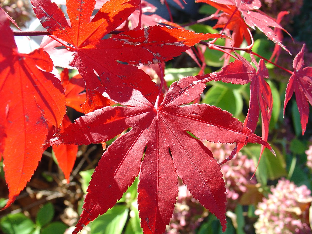 Japanese Maple Leaves, Fall