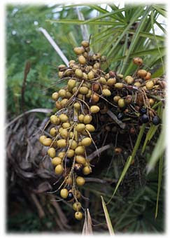 Saw-palmetto (Serenoa repens)