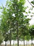 Hawthorne Crataegus oxyacantha