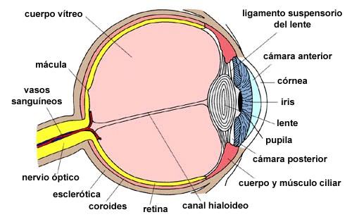 Los Ojos y su Anatomía   CARRIAZO CENTRO OFTALMOLÓGICO