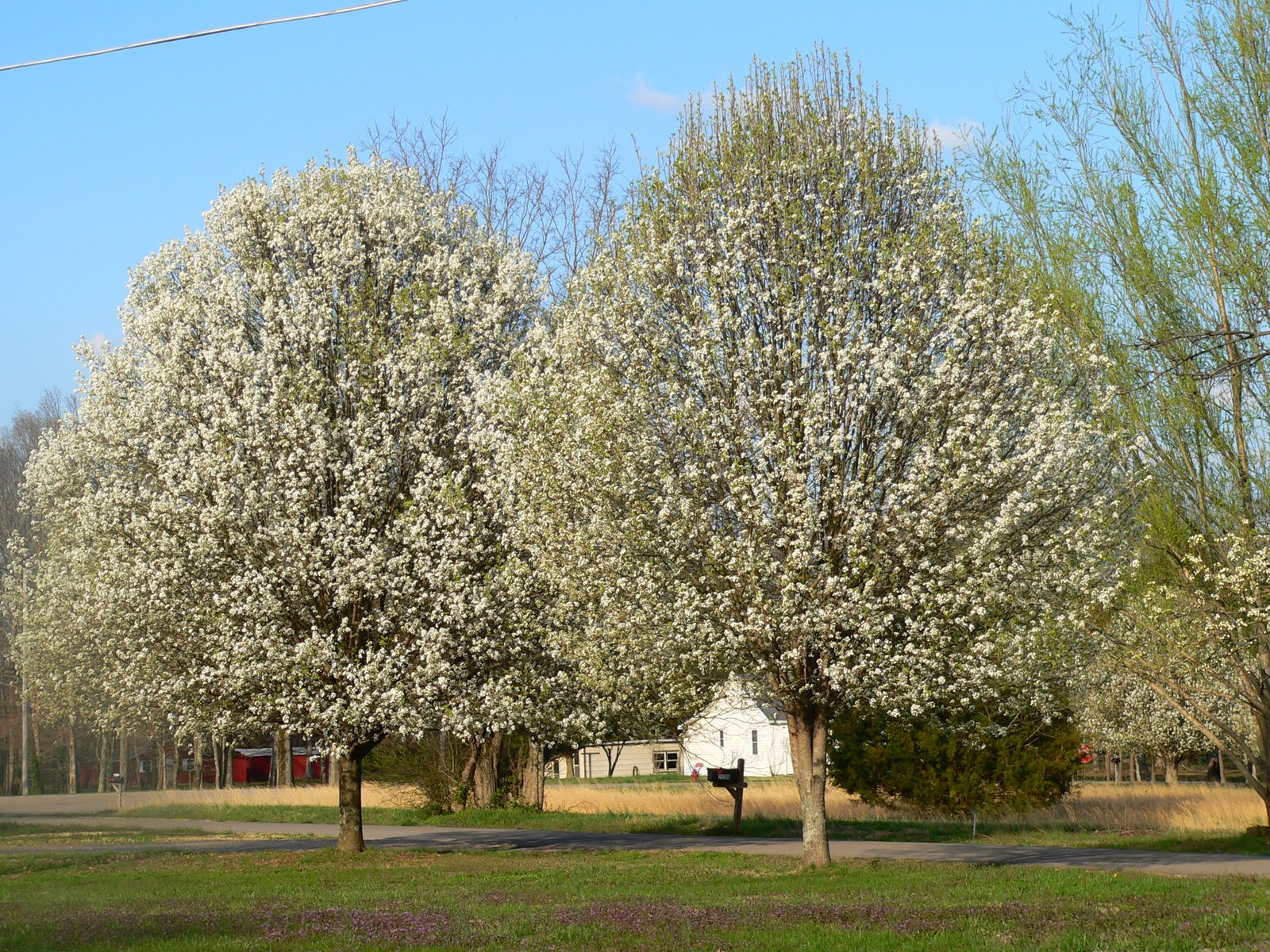 The barnett family spring has sprung around the house Bradford pear