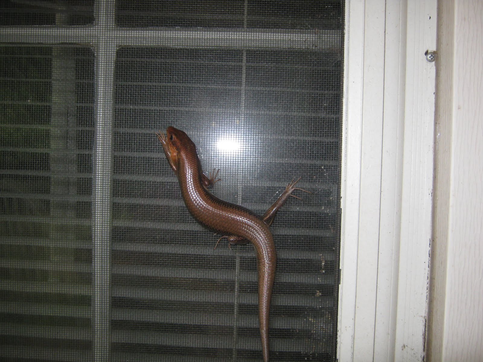 Lizard In My Backyard lizard in my shoe: my neighbors, the skinks