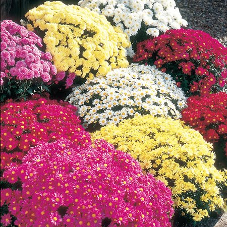 franklin county pa gardeners mums the word