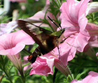 Is it Rare to See a Hummingbird Moth  Animals  momme