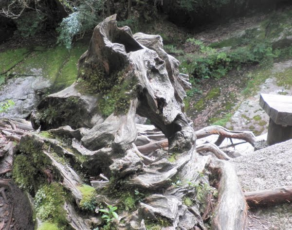 gnarly stump