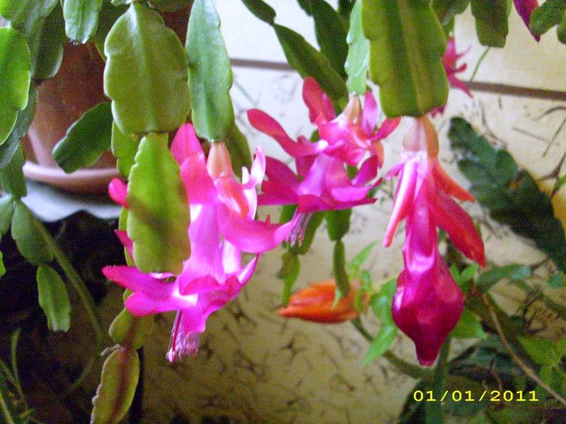 NIKUD NIKAM: Božićni kaktus (Schlumbergera truncata)