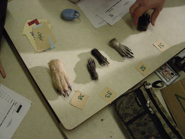 Pattes de coyote, opossum, raton laveur et castor