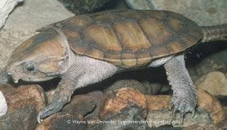 Kura kura berkepala besar