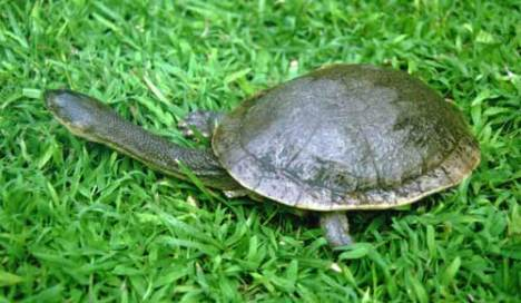 Rote Island Snake-necked Turtle (Chelodina Mccordi)