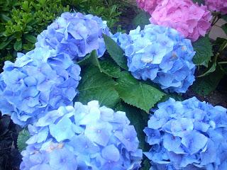 La stanza di lizzie spettacolo blu hydrangea ortensia - Ortensia blu ...