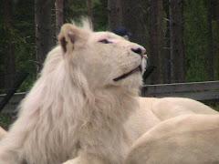 lejon från junsele