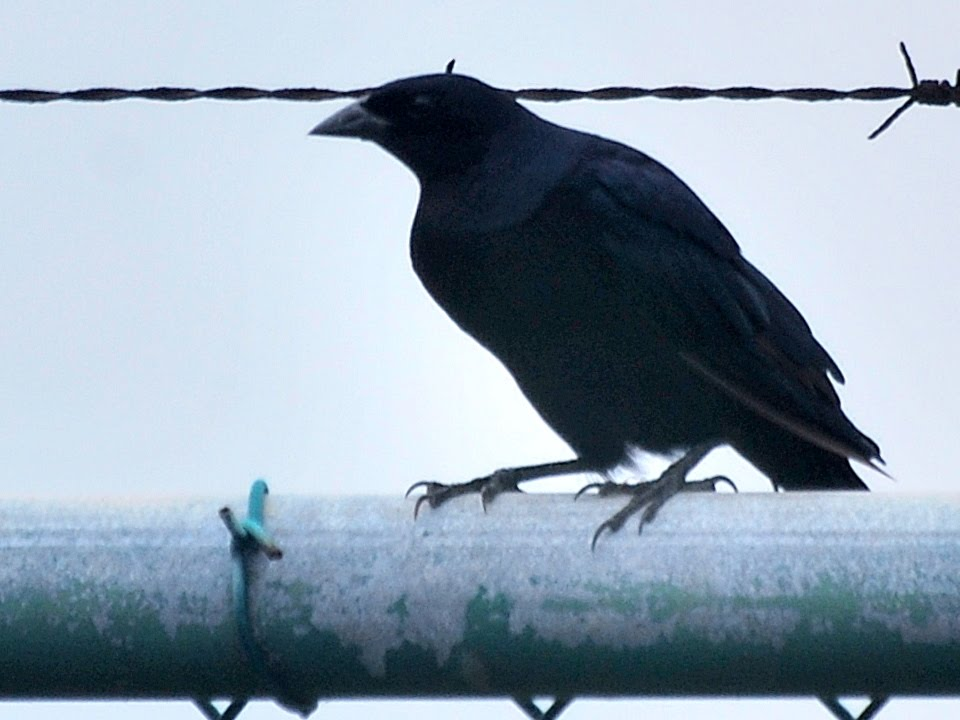 blackbirds in kentucky