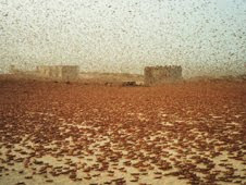 Swarms typically contain between 40 and 80 million locusts per square kilometer. This swarm passed through Nouakchott, the largest city in Mauritania