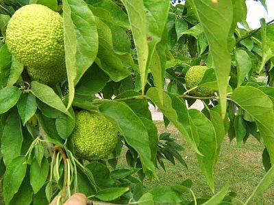 l'arbre fruitier d'Ajonc du 3 septembre trouvé par Cathy La+gacilly+141