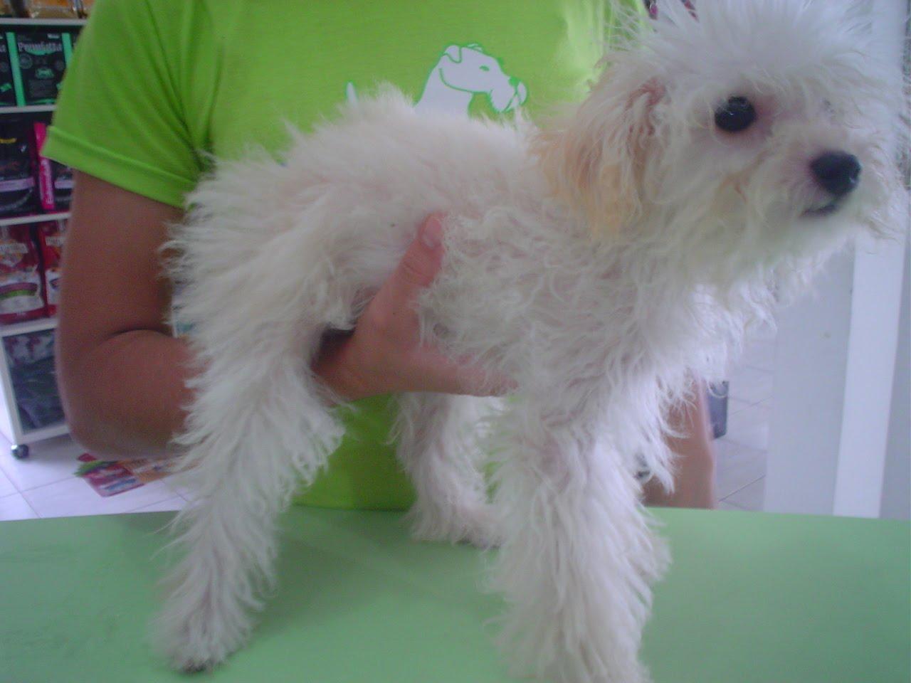 pet shop xod211 tosa de poodle filhote 1170 tosa