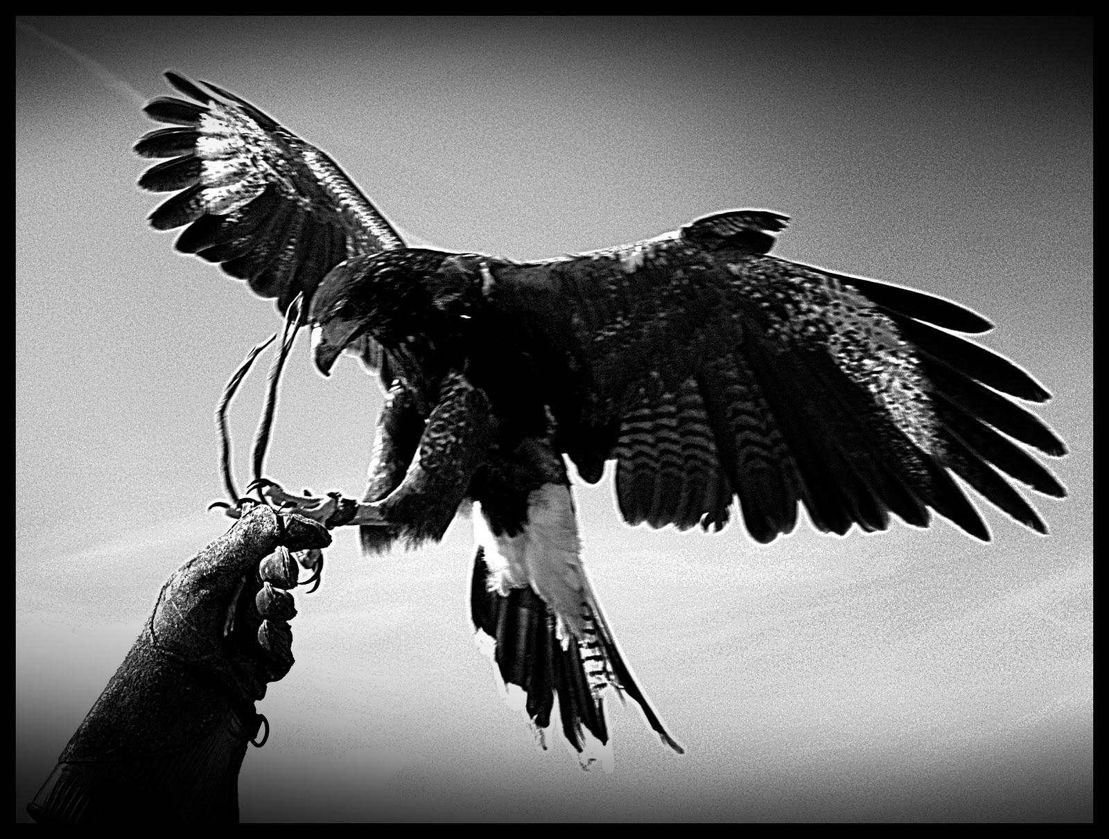 Imagenes de aguila blanco y negro - Imagui