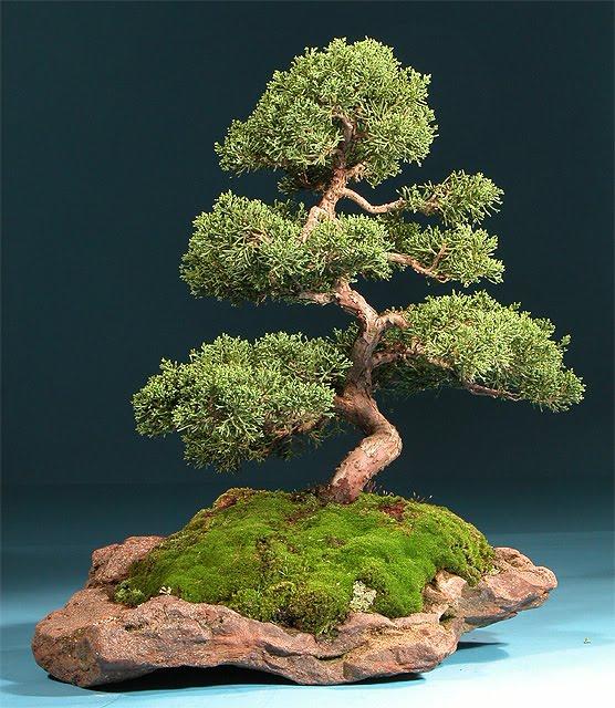 Nippon shiki exposici n bonsais - Como cultivar bonsai ...