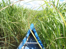 Canoeing through the reeds...