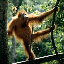 The critically endangered Sumatran Orangutan, a great ape endemic to Indonesia.