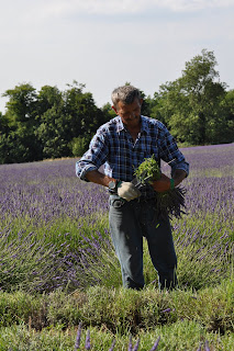 A worker at the Mayfield Lavender.  Photo by Lucia Carpio