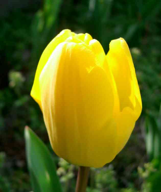 http://2.bp.blogspot.com/_U5FE3oREwMc/TEKO2tQjmgI/AAAAAAAAADo/xuYaZrjzTT4/s1600/tulip3.jpg