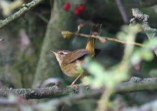 Radde's Warbler- Great Orme Oct 2008