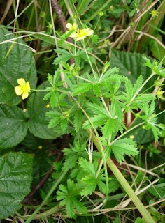 Fleurs sauvages jaunes belgique for Plante 7 folioles