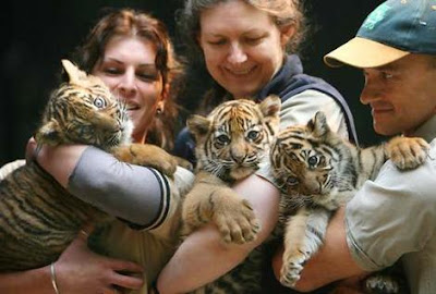 Three Cute Baby Tiger Cubs Image