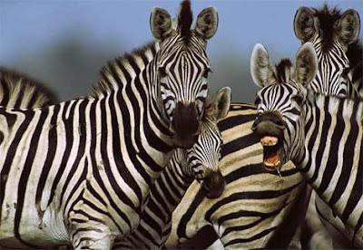 Zebras Mammalia picture