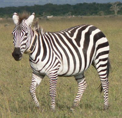Zebras Photograph