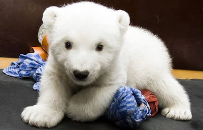 A Baby Polar Bear Cute video picture