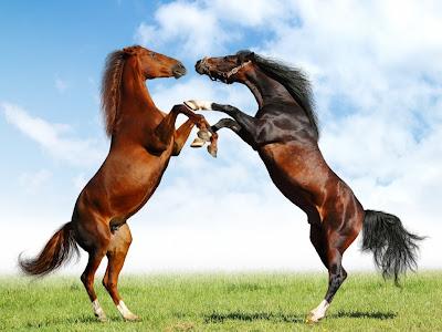 Fight of Horses Wallpaper
