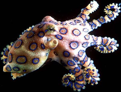 Blue Ringed Octopus Desktop Image