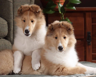 AKC Collie 02Puppies-Sable&White Dogs Wallpaper