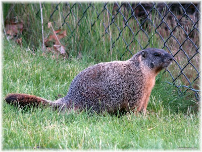 Marmot Varmint - Marmots Picture