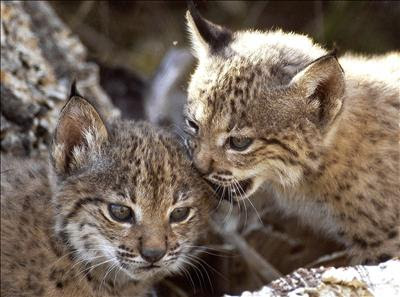 Iberian Lynx Photo gallery Video Picture