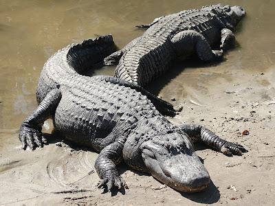 Alligator - Alligator Picture