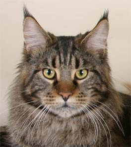 Maine coon cat lynxears Picture