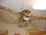 Owl at NH Audubon