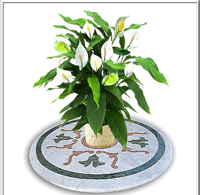 Algo de plantas espatifilo espatifilum cuna de mois s - Planta cuna de moises ...