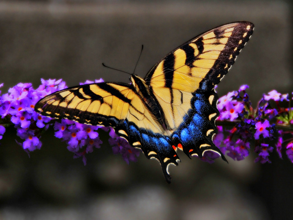 butterfly hq wallpaper 1024x768 - photo #40