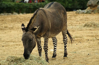 Zedonk Photos - Hybrid of Zebra and Donkey Born