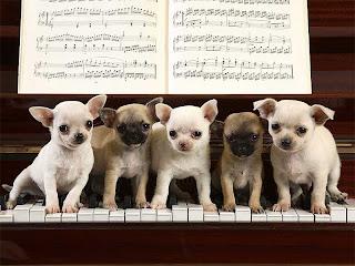 ¡Bienvenidos! Perros_chihuahua_piano