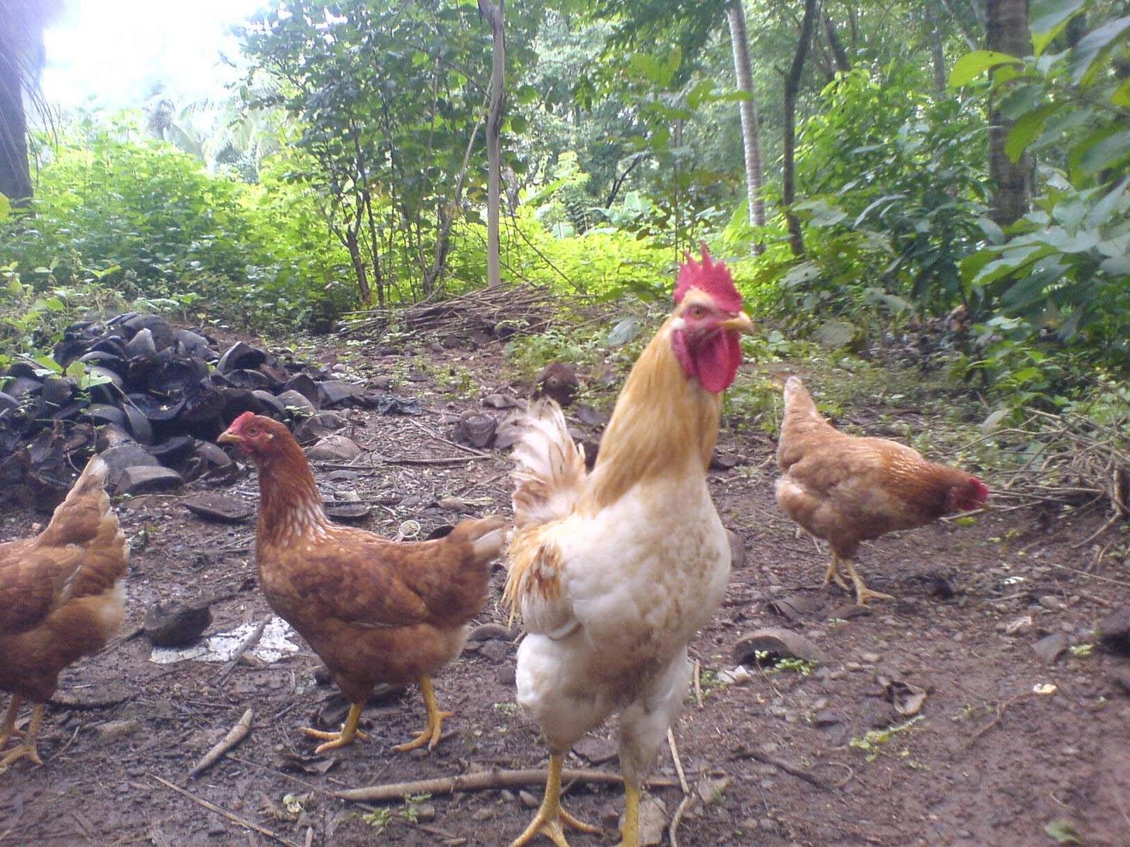 Understand this Mature rhode island red hen are