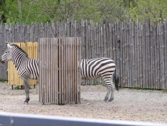 Funny Zebrasare