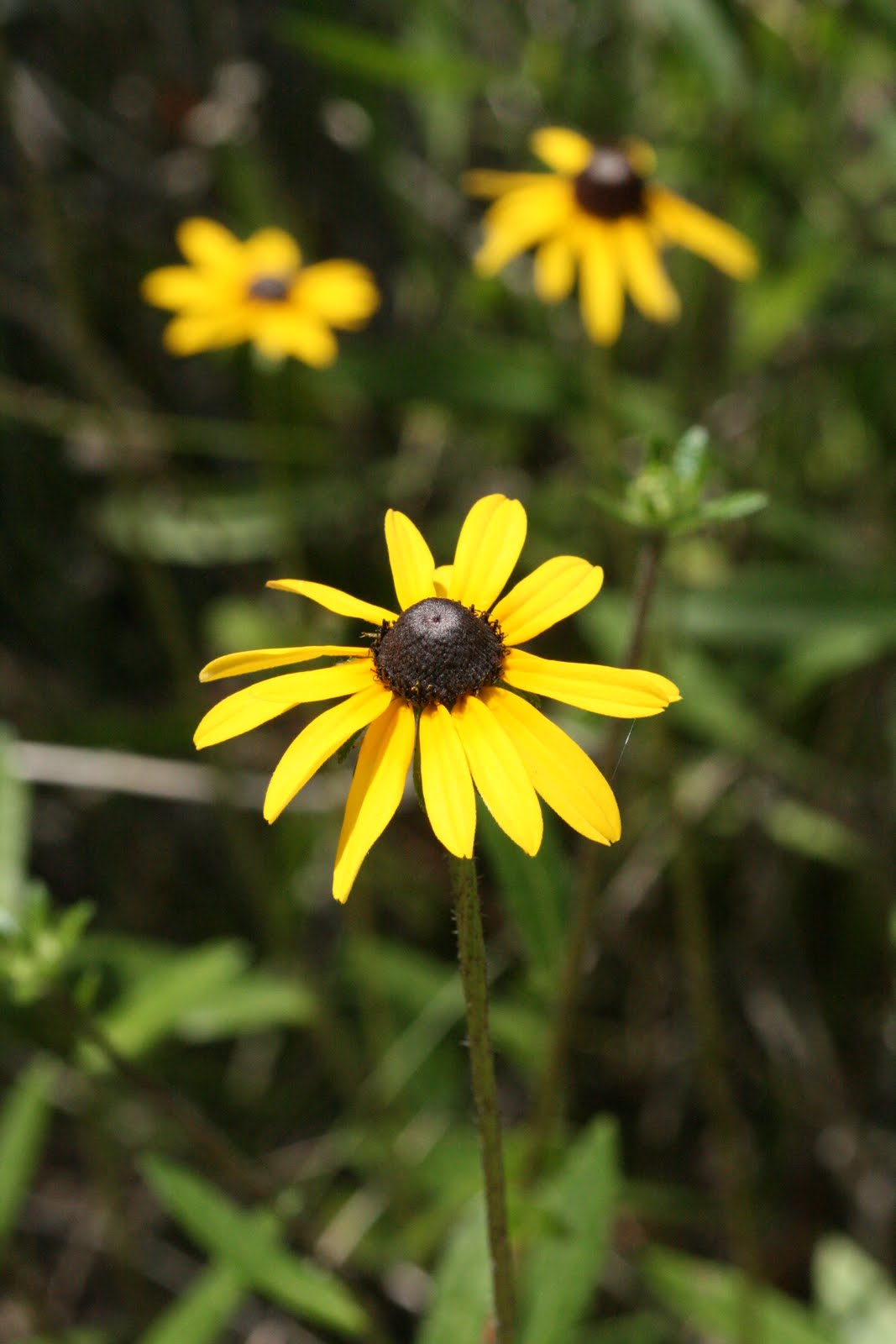 Native Florida Wildflowers Black Eyed Susan Rudbeckia Hirta