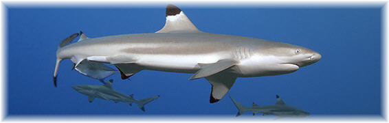 [Moorea0502-uw-sharks-038.jpg]