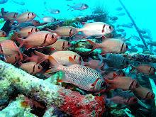 Husarenfische (Ölplattform Mabul)