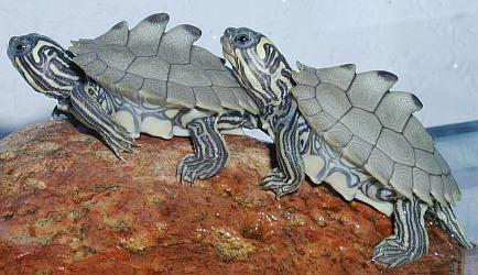 12 kura-kura terunik Blackknobbedmapturtle